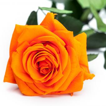 Rose BelRosa Premium orange